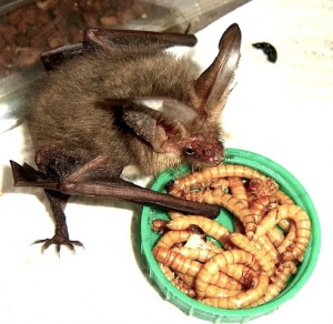 Bats are protected species - you must seek advice if you find one.